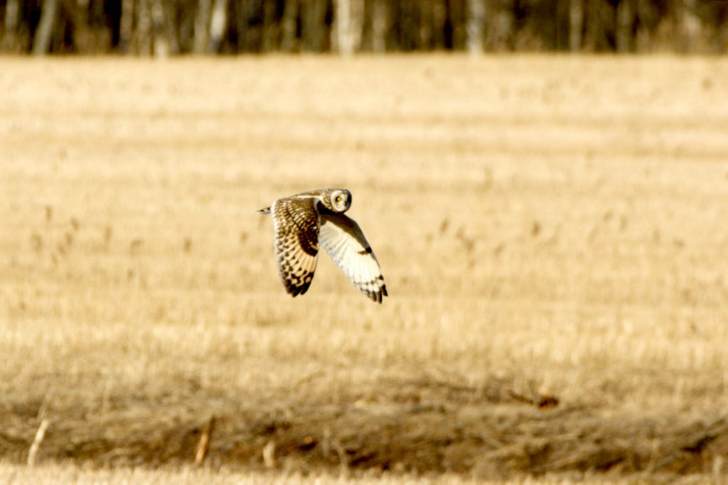 Suopöllö lentää